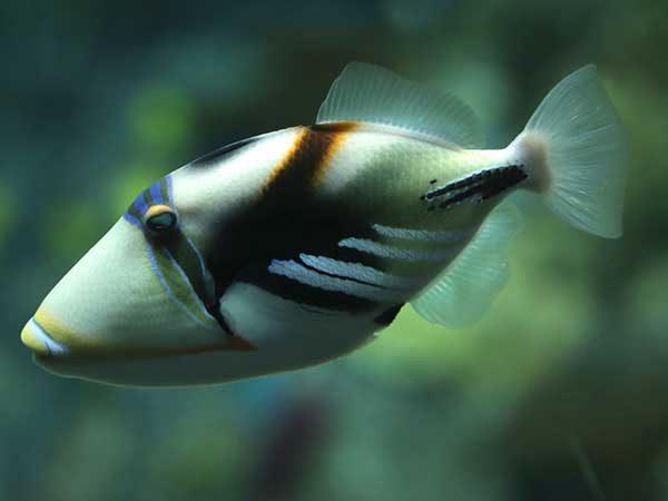 Image of a huma triggerfish