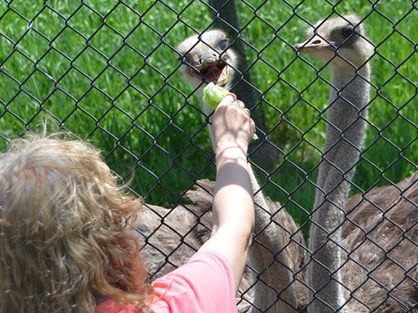 image of visitors feeding two ostriches