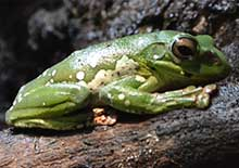 Image of a tree frog resting