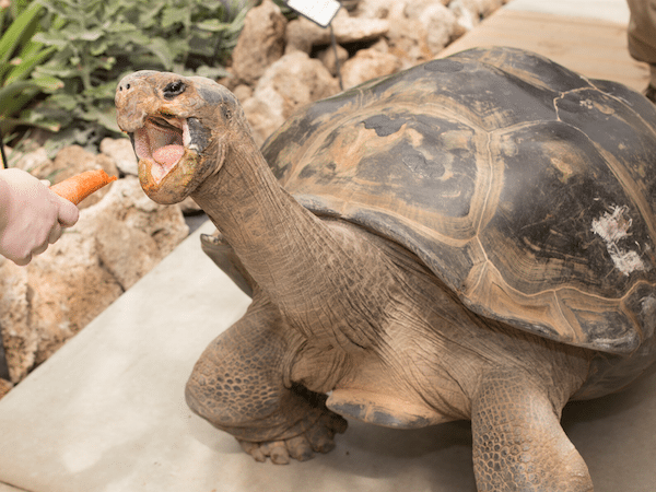 image of Emerson, the Galapagos tortoise