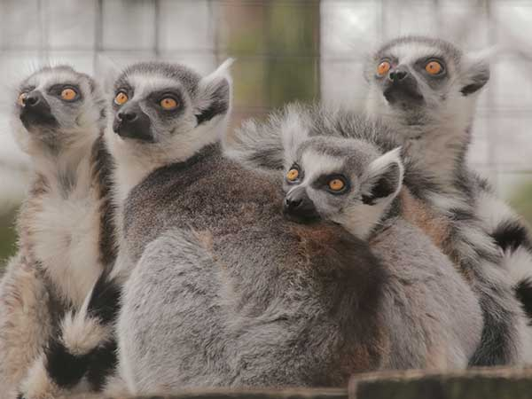 Image of a family of ringtail lemurs huddled together