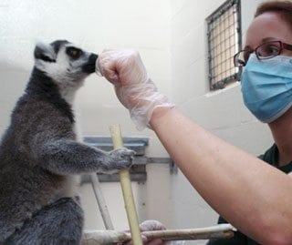 Zoo keeper working with a ring-tailed lemur
