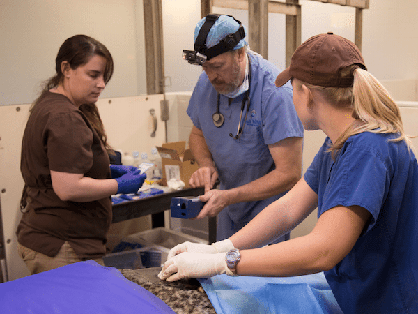 Veterinary staff working with a sedated Zoo animal