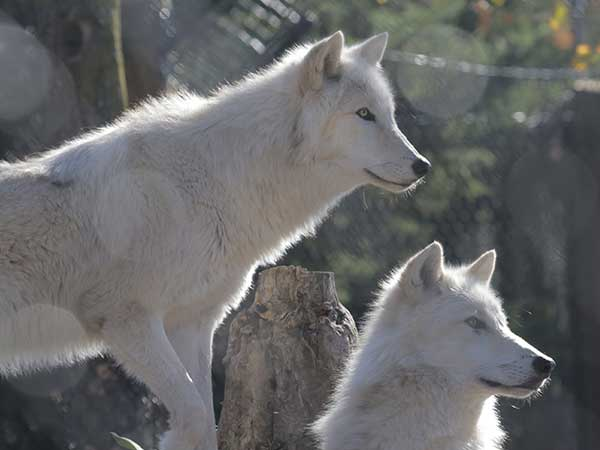 Image of two wolves