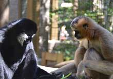 Image of two gibbons