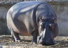 Image of a hippo
