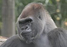 Image of a male gorilla