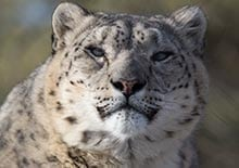 Image of snow leopards