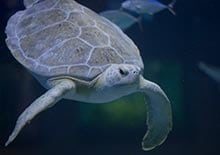 Image of green sea turtle at the aquarium