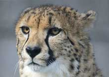 Image of a cheetah