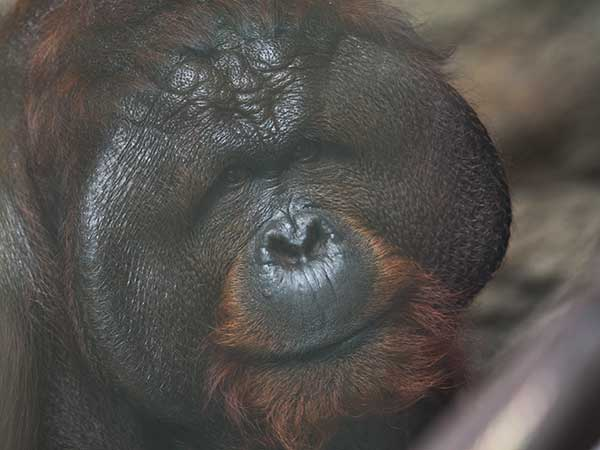 Image of a male orangutan