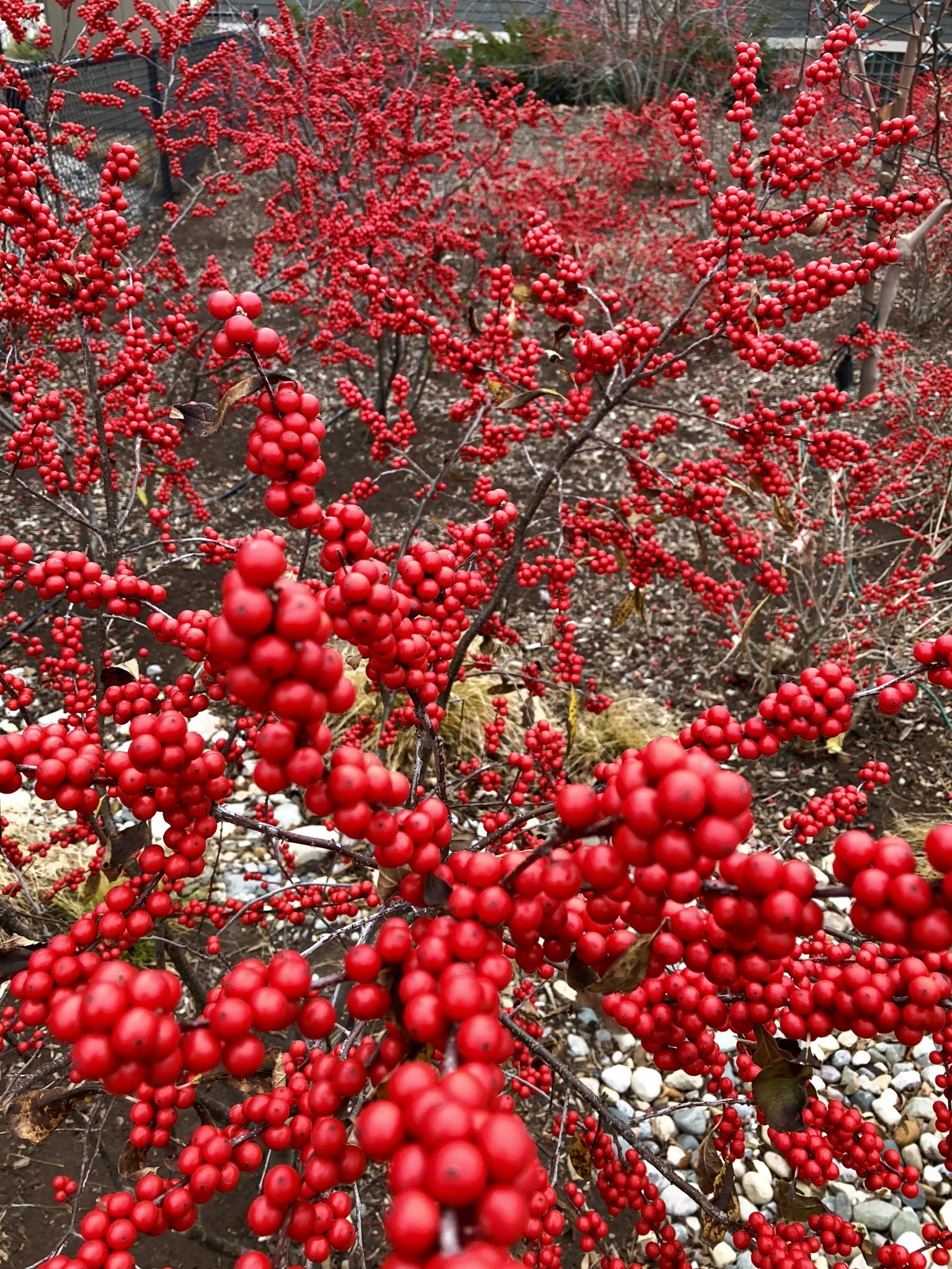 winterberry-holly-1
