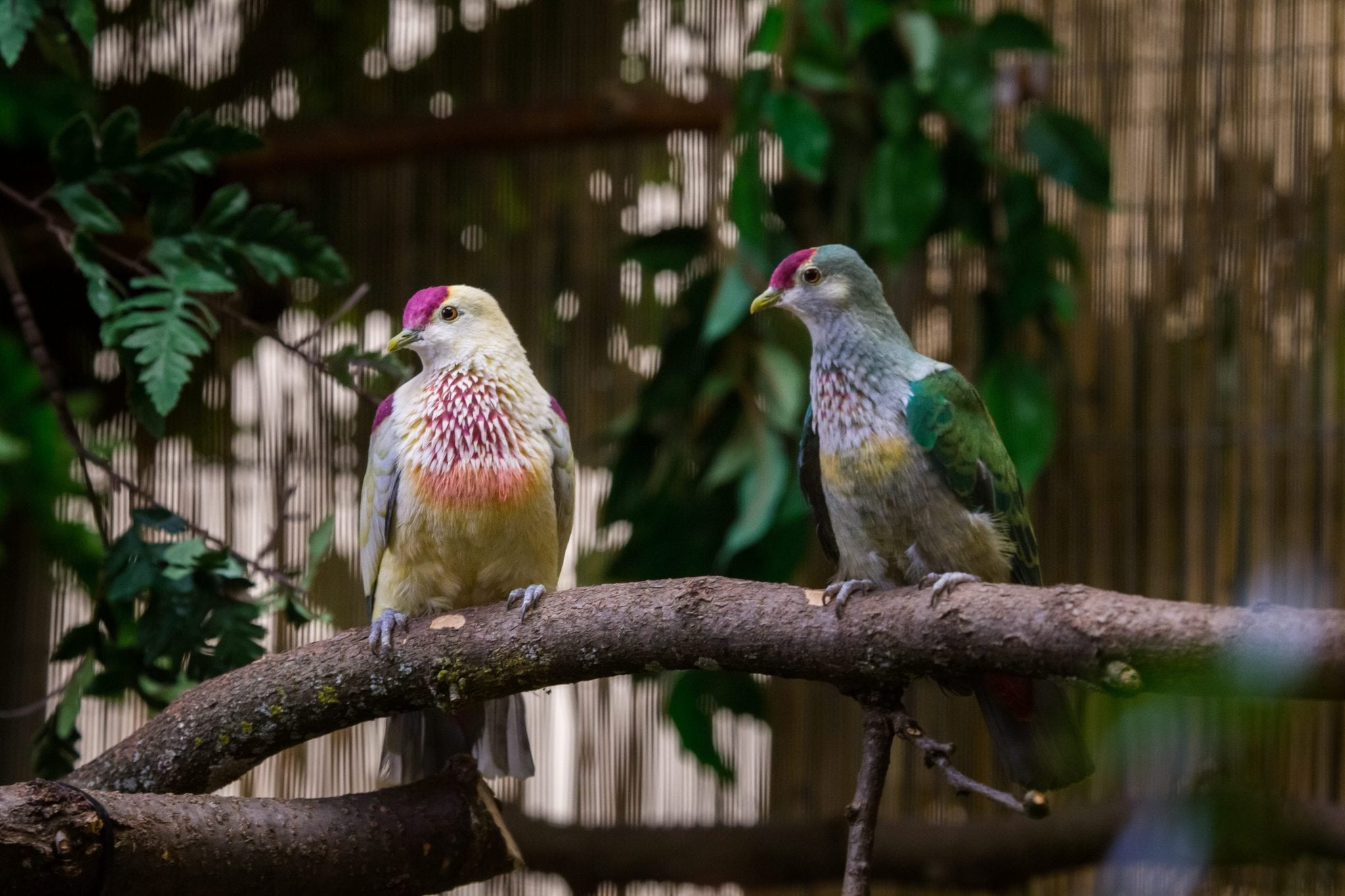 Manuma Fruit Dove