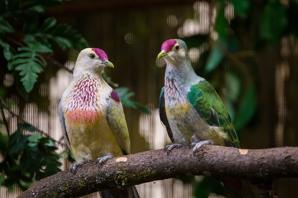 <h1>Many-Colored<br />Fruit Dove<h1>
