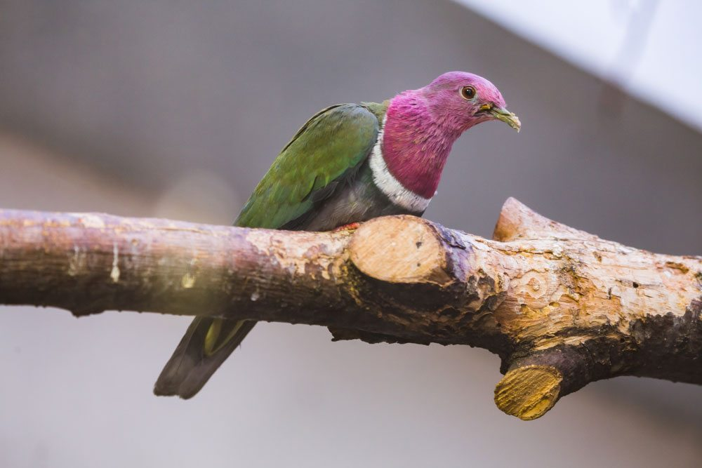 <h1>Pink-necked<br />Fruit Dove</h1>