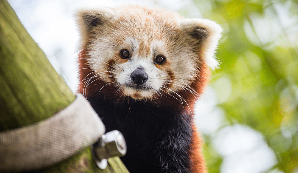 <h1>RAISING UP<br />RED PANDAS!</h1>